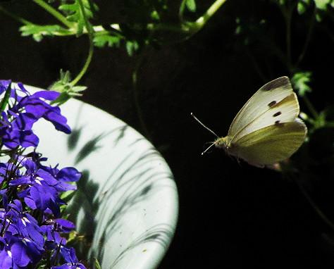 cabbage moth flying to lobelia_edited.JPG