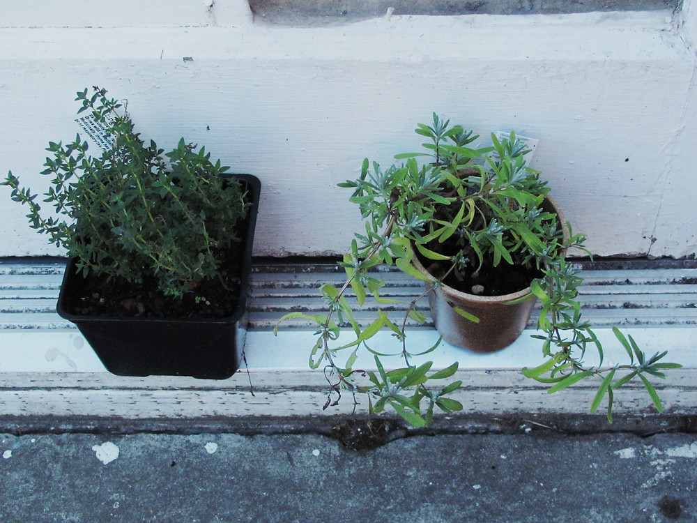 thyme and lavender repot.jpg