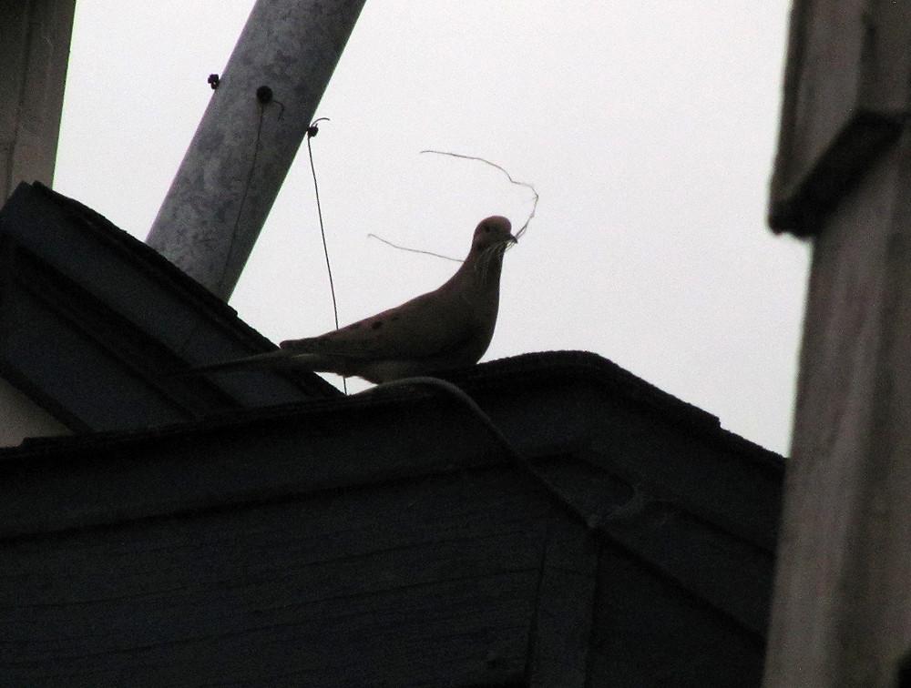 mourning dove building nest_edited.JPG