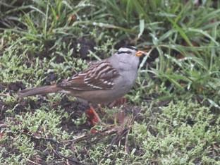 Sparrows foraging in the garden