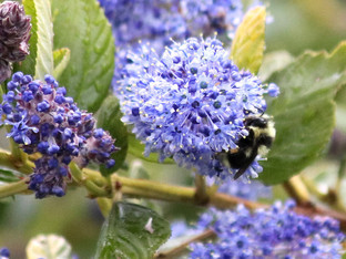 Black tailed Bumble Bee on the Ceanothus