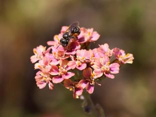 Bee visitors in the garden
