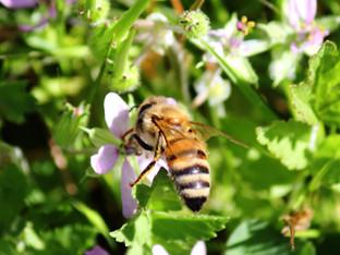 More honey bee activity in the native garden