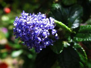 Ray Hartman Ceanothus blooming again