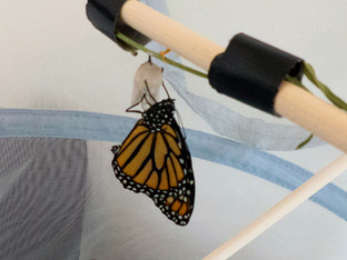 Monarch butterfly raised and released