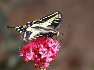 Beautiful anise swallowtail visiting