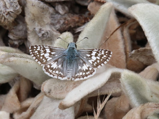 Common Checkered Skippers in the Morning