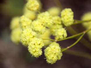 Lovely California Natives for the Pollinators