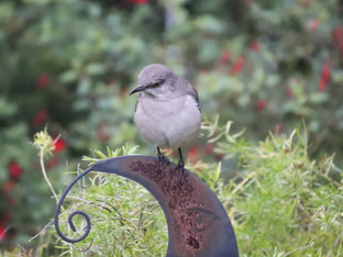 Northern Mockingbirds visit
