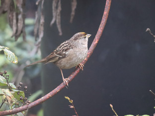 Fascinating article about Golden-Crowned and other Sparrows