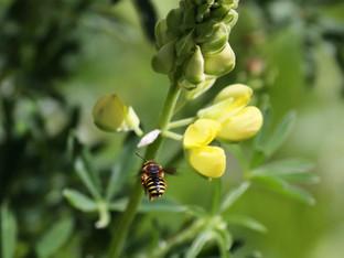 Wool carder bee approaching the Yellow Coastal Bush Lupine