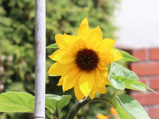 The California Delta Sunflowers are in bloom