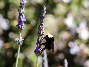 Yellow Faced Bumble Bee