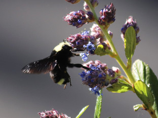 Yellow faced bumble bee and the Ray Hartman ceanothus blossoms