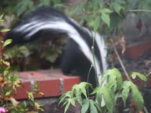 Skunks in the garden beds