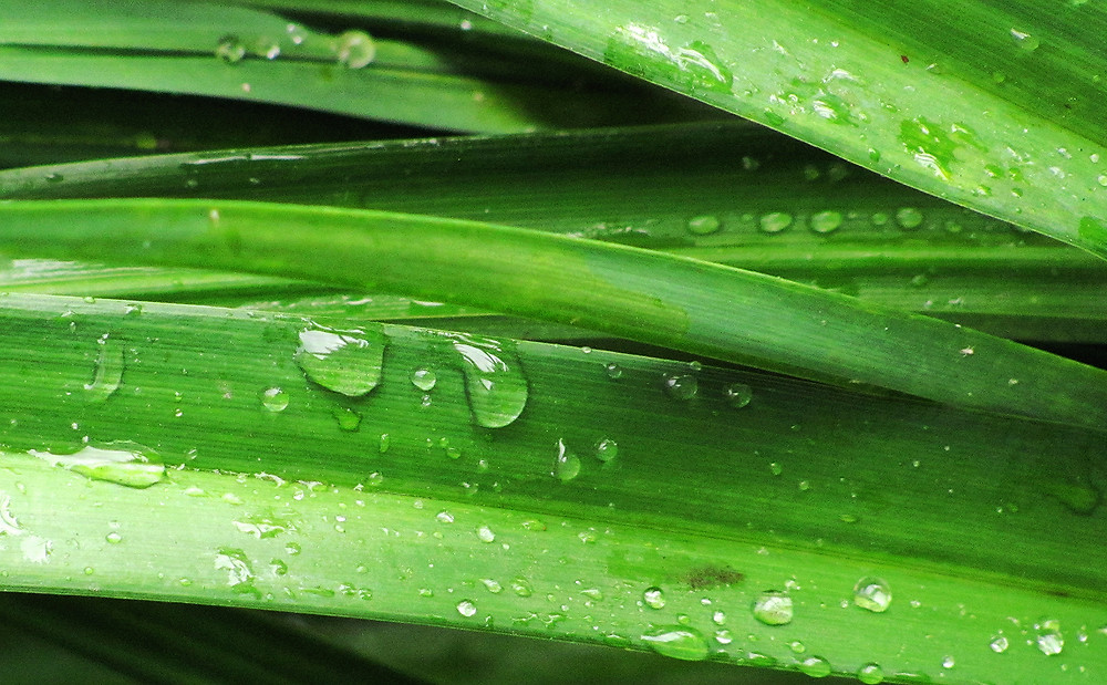day lily leaves with raindrops_edited.JPG