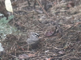 White-crowned sparrows finding treasures in the rain