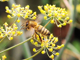 Honey bee on the fennel flowers