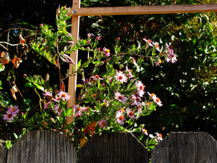 The climbing aster plant is blooming