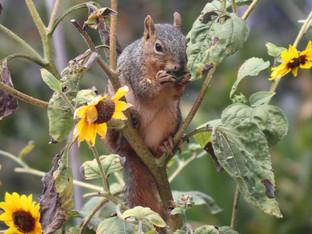 Everyone enjoys the Delta sunflowers