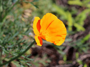 First California Poppies in the garden