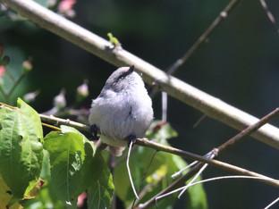 Brown eyed Bushtit fledgling