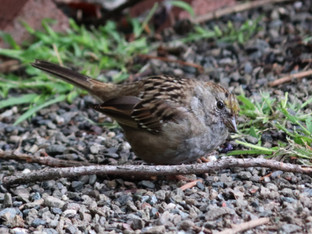 Getting acquainted with a Golden Crowned Sparrow