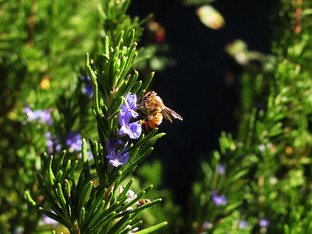 The rosemary hedge is blooming