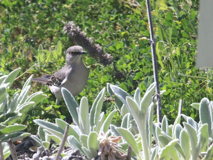 Northern mockingbirds are such characters