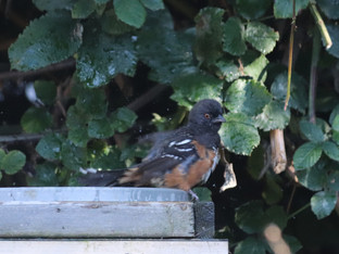 Spotted Towhee in the bath