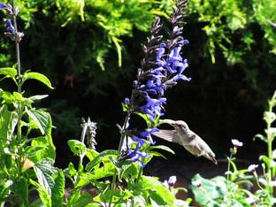 Anna's hummingbird and the Indigo Spires salvia