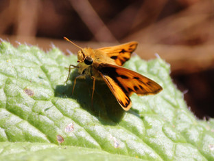 Umber Skipper and the Borage leaf