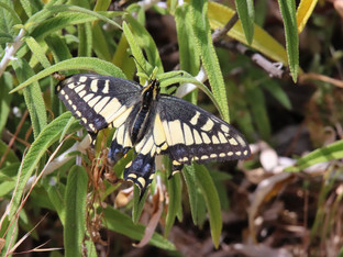 Anise Swallowtail, what a survivor