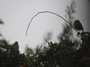 Golden Crowned Sparrows in the Mist