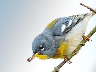 Birds outperform pesticides