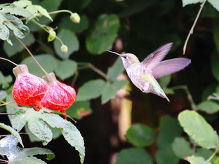 Anna's hummingbird and the Abutilon shrub