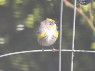 Yellow-rumped Warbler visiting