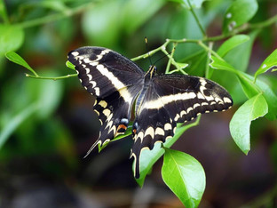 Wow! A rare butterfly saved from extinction