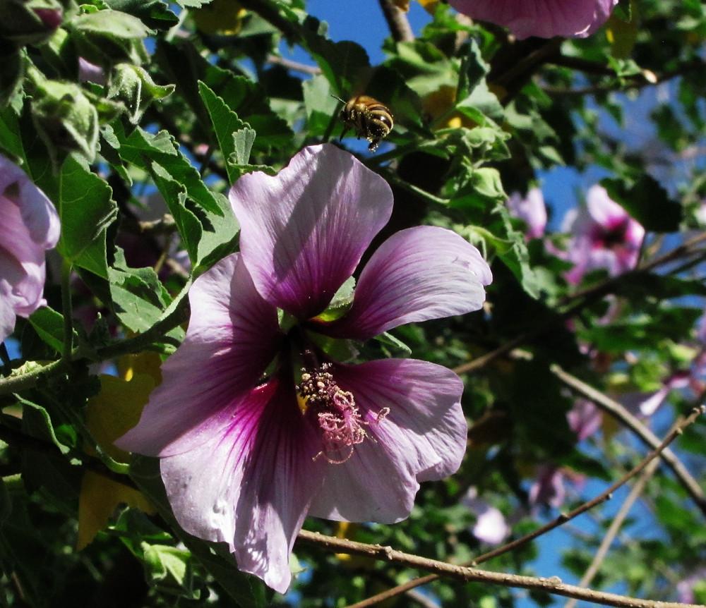 honeybee hovering over lavatera blossom_edited.JPG