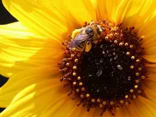 A Summer Long-horned Bee laden with Pollen