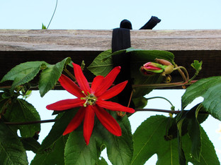 Oaklandia Passionflower is blooming
