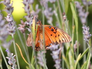 A daily visitor, the Gulf Fritillary