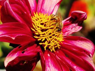 Bees in the Bishop's Children Dahlias