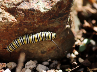 Yup, monarch caterpillars are still here