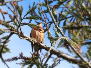 American Robins and Cedar Waxwings
