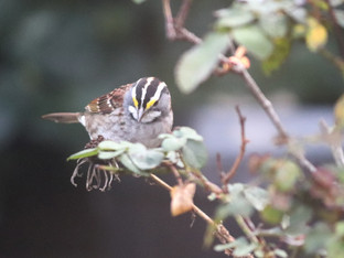 White Throated Sparrow sighting