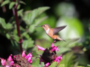 Rufous hummingbird visiting the Hummingbird sage