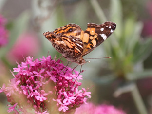 Butterflies feeding on the ever popular Red Valerian