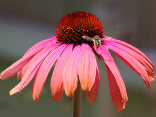 Leaf Cutting Bee and the Echinacea blossom