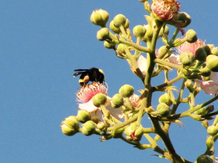 California Bumble Bees and blackberry blossoms
